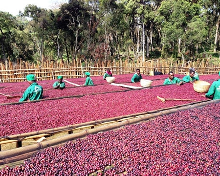 Ethiopia Natural Hambela Organic Coffee - fresh coffee cherries being spread out to dry