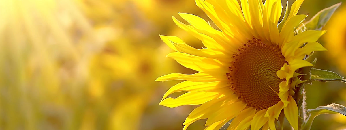 A yellow sunflower with bright yellow light hitting it