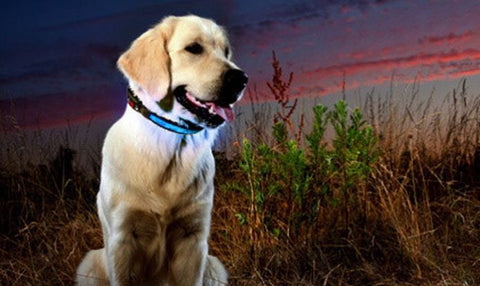Light-Up LED Dog Safety Collar in Choice of Size and Colour