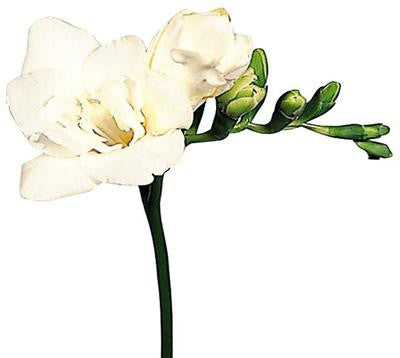 Freesias White - BloomsyShop.com