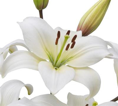 Asiatic Lilies White - BloomsyShop.com