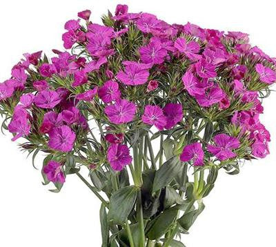 Dianthus Amazon Purple - BloomsyShop.com