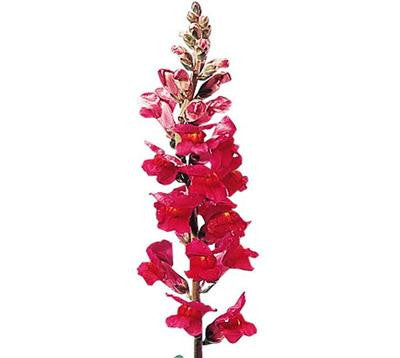 Snapdragon Red - BloomsyShop.com