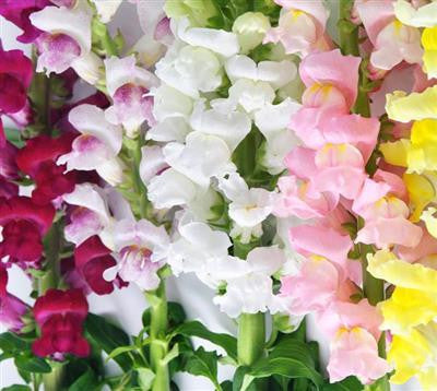 Snapdragon Assorted - BloomsyShop.com