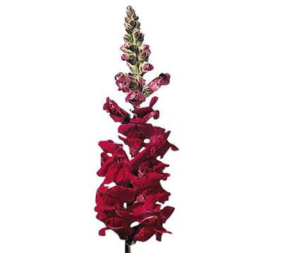 Snapdragon Burgundy - BloomsyShop.com