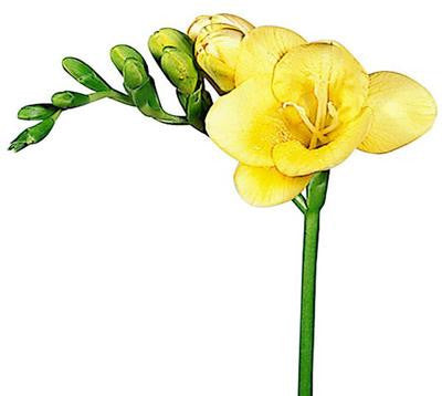 Freesias Yellow - BloomsyShop.com