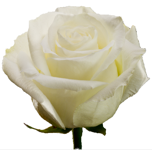 Roses White Angels - BloomsyShop.com