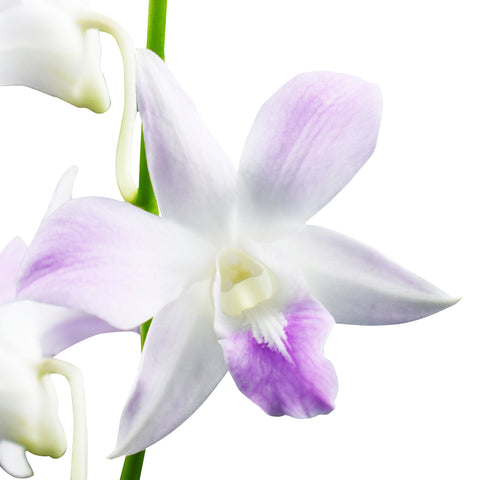 Dendrobium Orchids Beloved - BloomsyShop.com