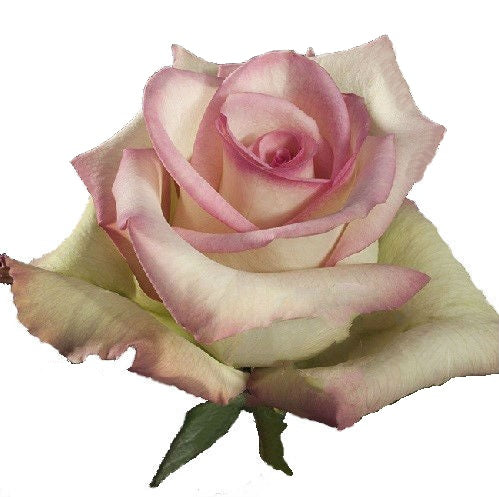Roses Bicolor Pink Cezzane - BloomsyShop.com