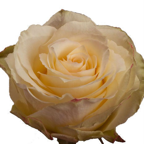 Roses Light Pink Cream Esperance
