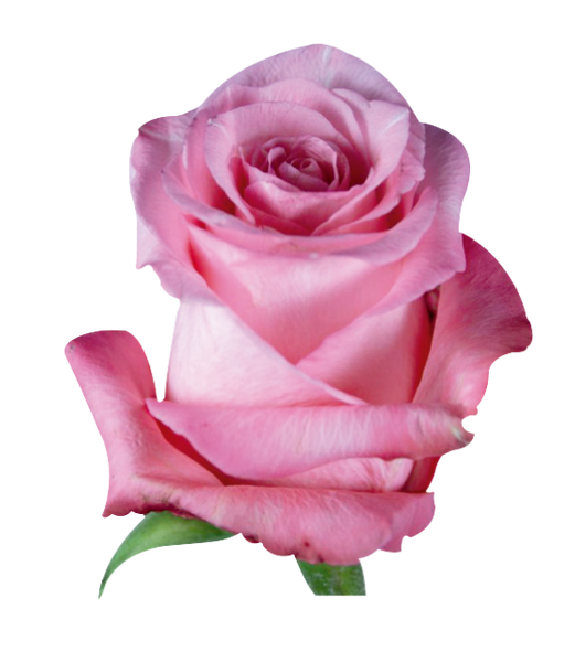 Roses Medium Pink Conquista - BloomsyShop.com