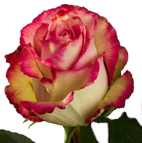 Roses Bicolor Pink Edge - BloomsyShop.com