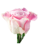 Roses Light Pink Faith - BloomsyShop.com