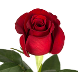Red Roses V-Day Farm Choice - BloomsyShop.com