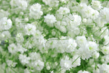 Gyp New Love-Baby's Breath - BloomsyShop.com