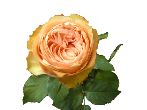 Roses Bicolor Orange Kahala - BloomsyShop.com