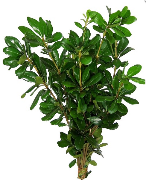 Green Pittosporum - BloomsyShop.com