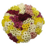 Pom Poms CDN (Mix Cushion, Daisies and Novelties) - BloomsyShop.com
