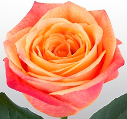Roses Orange Sunset Glory - BloomsyShop.com