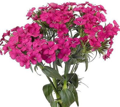 Dianthus Amazon Hot Pink - BloomsyShop.com