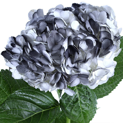 Hydrangea Airbrushed Black - BloomsyShop.com
