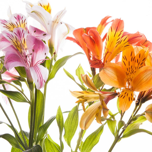 Alstroemeria Assorted - BloomsyShop.com