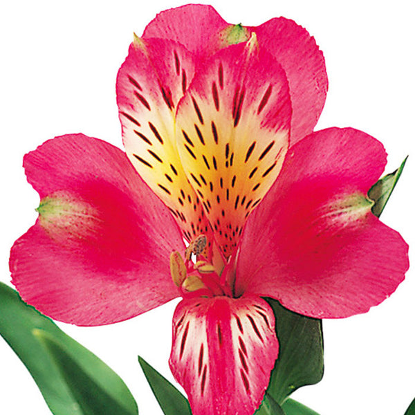Alstroemeria Hot Pink - BloomsyShop.com