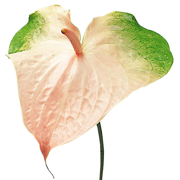 Tropical Anthurium Obake Light Pink - BloomsyShop.com