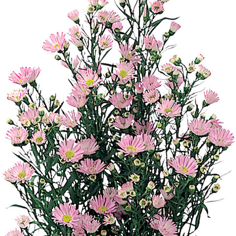 Aster Light Pink - BloomsyShop.com