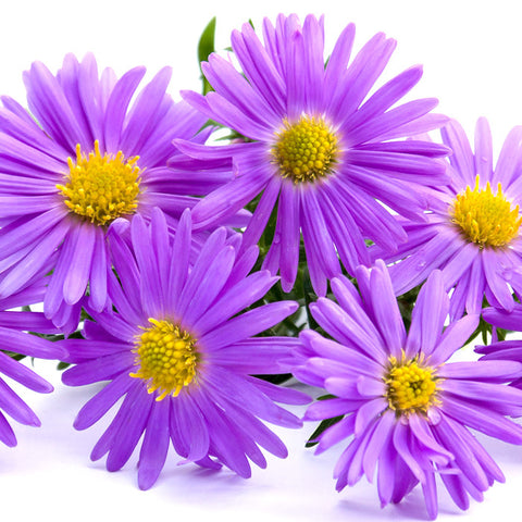 Aster Purple - BloomsyShop.com