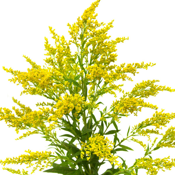 Aster Solidago - WholesaleFlowers.net