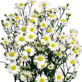 Aster White - BloomsyShop.com