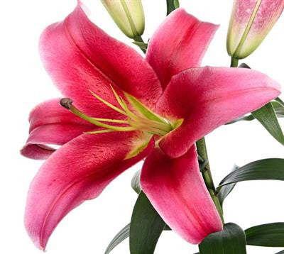 Oriental Lilies Hot Pink - BloomsyShop.com