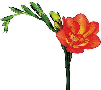 Freesia Red - BloomsyShop.com