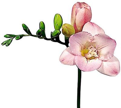 Freesia Light Pink - BloomsyShop.com