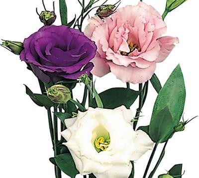 Lisianthus Assorted - BloomsyShop.com