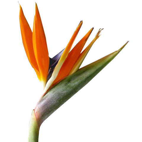 Tropical Birds Of Paradise - BloomsyShop.com