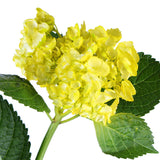 "Hydrangea Airbrushed Yellow ""Brazil"" - BloomsyShop.com"