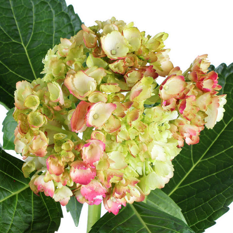 Hydrangea Airbrushed Coral Antique - BloomsyShop.com