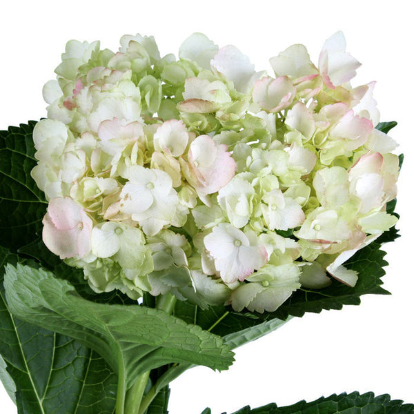Hydrangea Airbrushed Light Green Antique - BloomsyShop.com