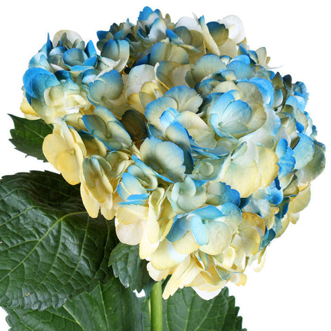 Hydrangea Airbrushed California Blue - BloomsyShop.com