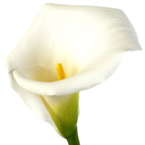 Calla White - BloomsyShop.com