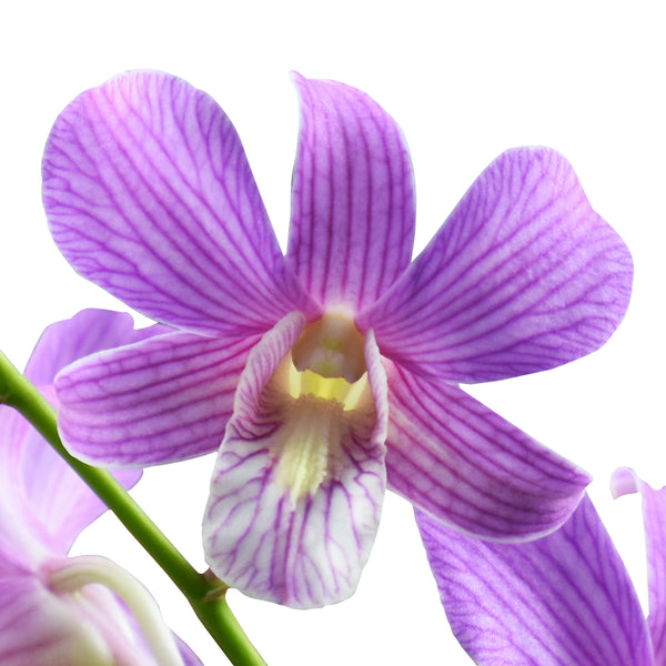 Dendrobium Orchids Candy Stripe - BloomsyShop.com