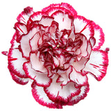 Carnations Bicolor Red and White - BloomsyShop.com