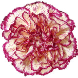 Carnations Bicolor Yellow and Purple - BloomsyShop.com