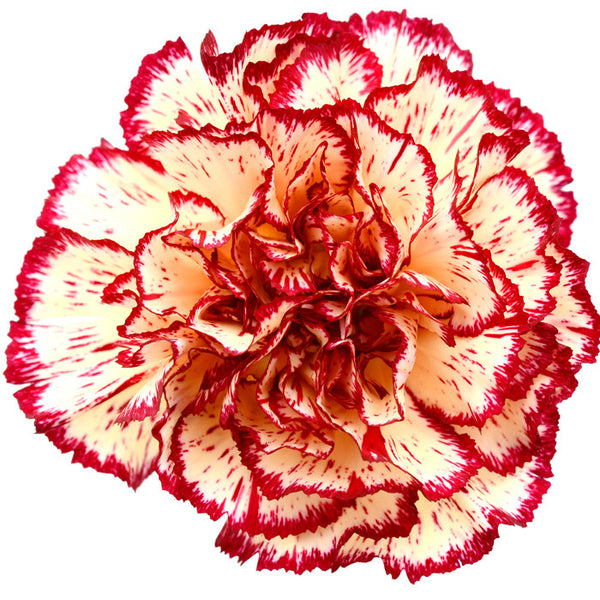 Carnations Bicolor Yellow and Red - BloomsyShop.com