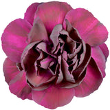 Carnations Burgundy - BloomsyShop.com