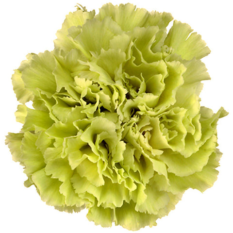 Carnations Green - BloomsyShop.com