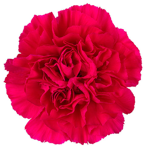 Carnations Hot Pink - BloomsyShop.com