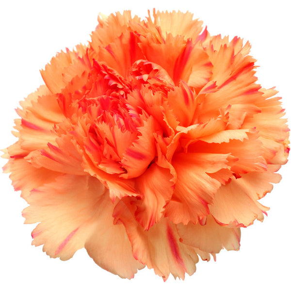 Carnations Orange - BloomsyShop.com